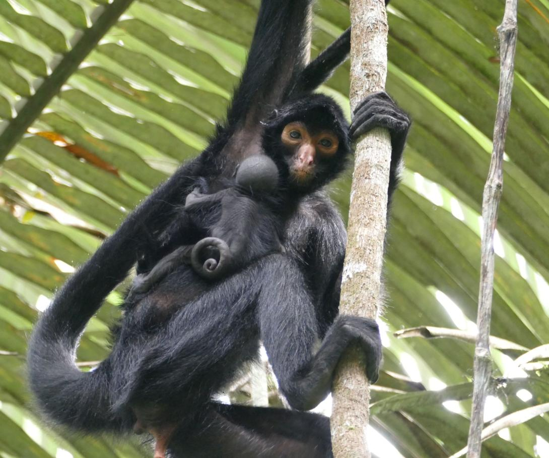 A young spider monkey clings to his mother in the depths of the rainforest in Peru.